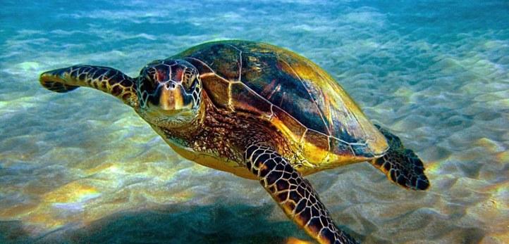 2017725135Hawksbill-Sea-Turtle-1200px